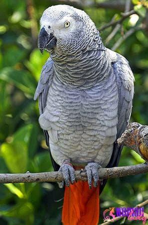 Подвиды попугаев жако