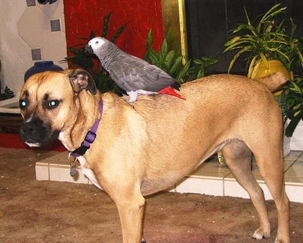 Особенности серых попугаев