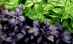 Базилик: полезные свойства ароматной пряности